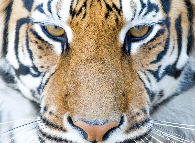Download Tiger stock image. Image of front, head, savage, animal - 15694053
