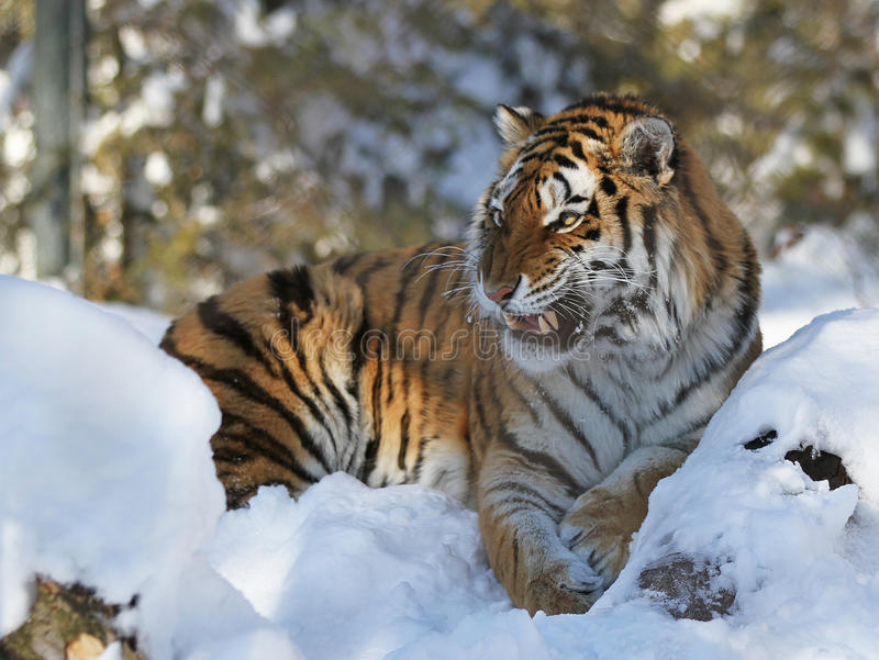Download Tiger Stock Photography - Image: 18711262