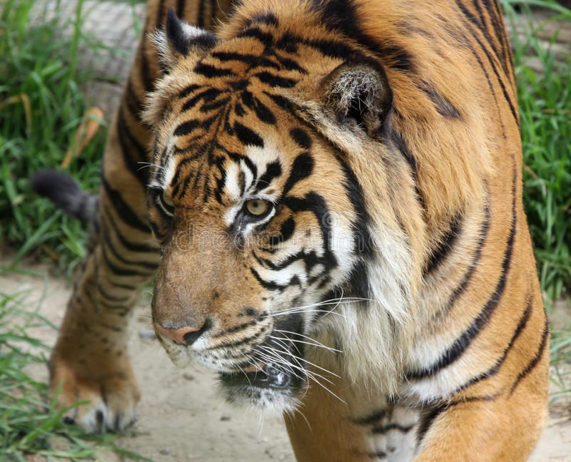 Tiger. Close Up Full Face Tiger Portrait With Open Mouth and Teeth stock photo