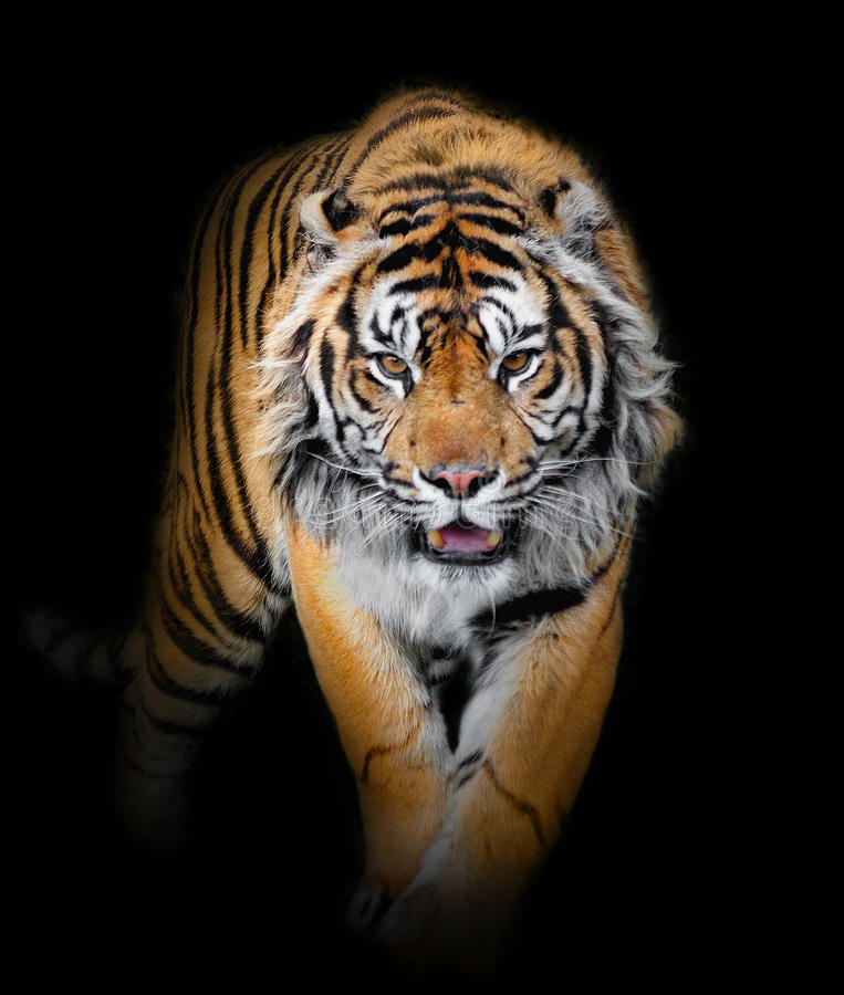 Free Tiger Royalty Free Stock Image - 19307286