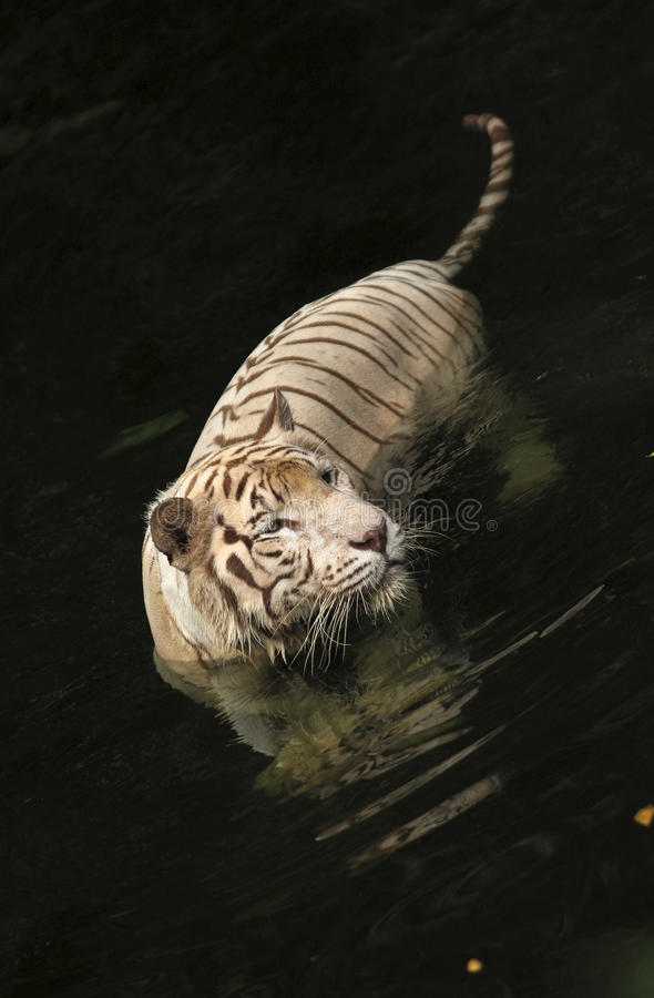 Download Tiger stock photo. Image of fierce, attack, head, water - 19596826