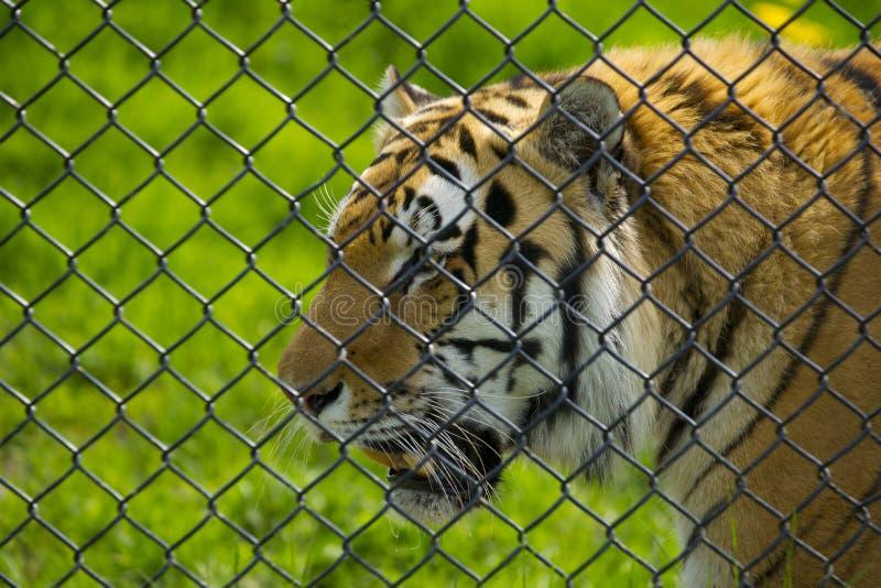 Download Tiger arkivfoto. Bild av randigt, tigris, barbacka, uttryck - 19785626