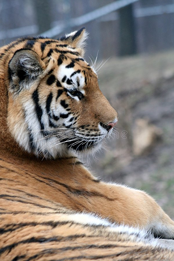 Download Tiger 2 Royalty Free Stock Images - Image: 1410749