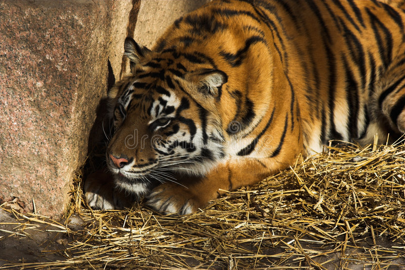 Tiger. Waiting behind a rock ready to pounce upon its prey royalty free stock image