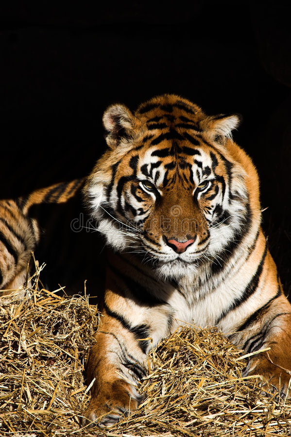 Tiger. Basking in the sunshine at the entrance of its den stock images