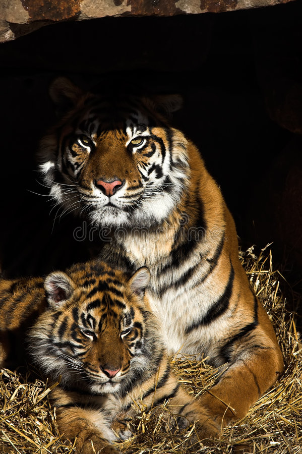 Tiger. Tigress guarding her cub at the entrance of their den royalty free stock photography