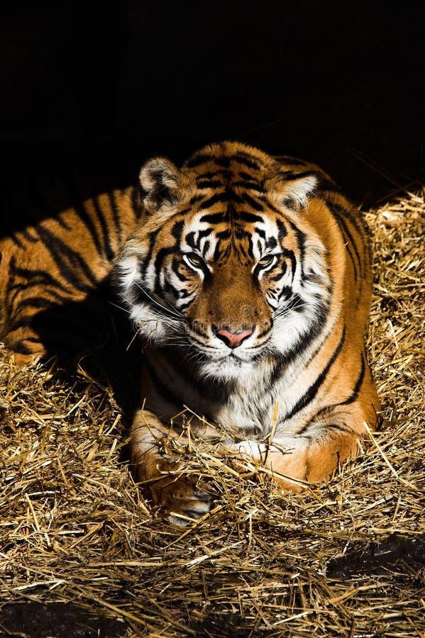 Free Tiger Royalty Free Stock Photos - 2033948