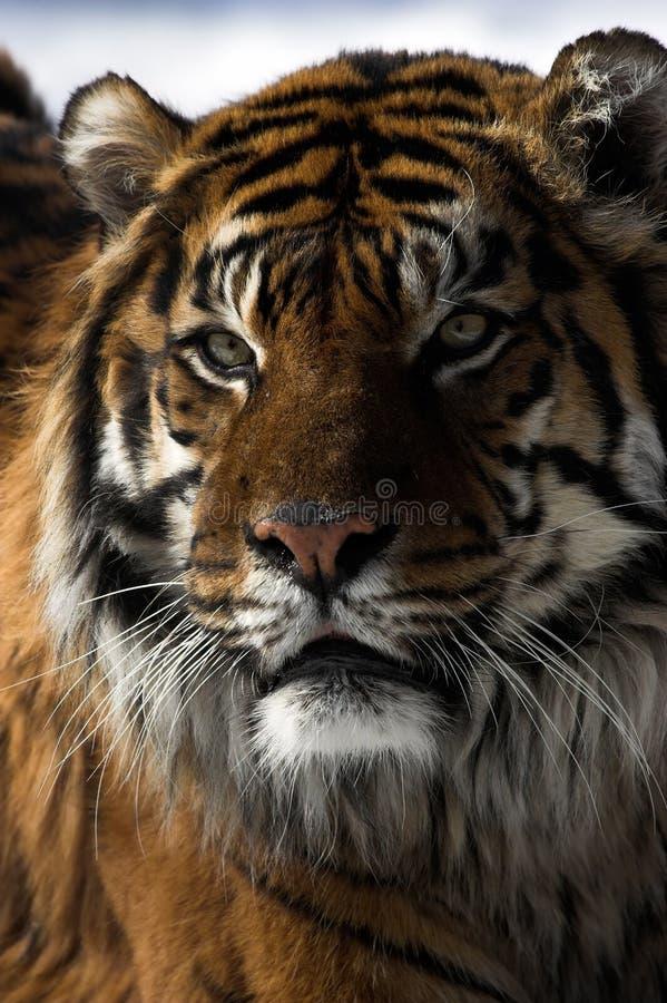 Free Tiger Stock Image - 2033981