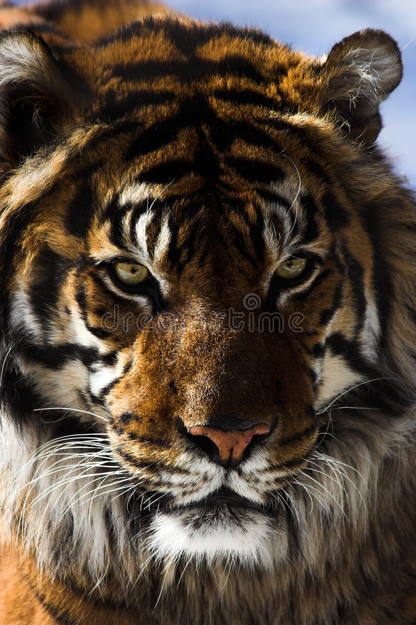 Free Tiger Stock Image - 2034001