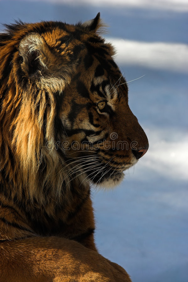 Tiger. Profile image of a tiger with blurred background in vertical format stock photos