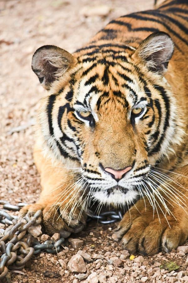 Download Tiger stock image. Image of hunt, anger, fear, hunter - 20426999