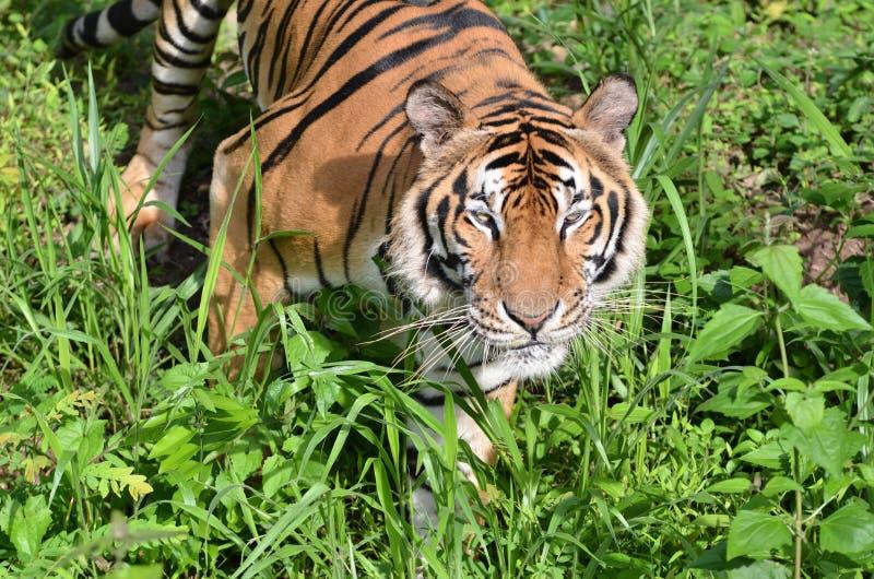Download Tiger stock image. Image of predator, forest, field, danger - 21120865