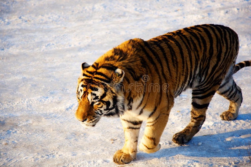Download Tiger stock image. Image of tiger, predator, altaica - 22058321