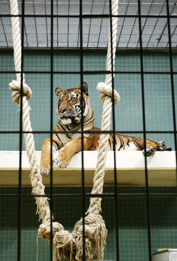 Download Tiger stock photo. Image of hair, elegant, background - 22403968