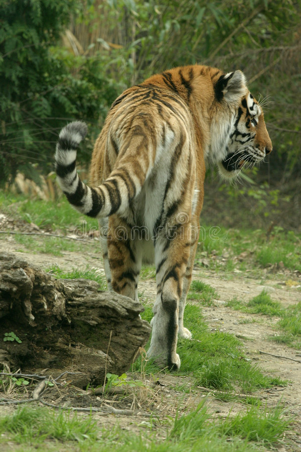 Tiger Royalty Free Stock Photography