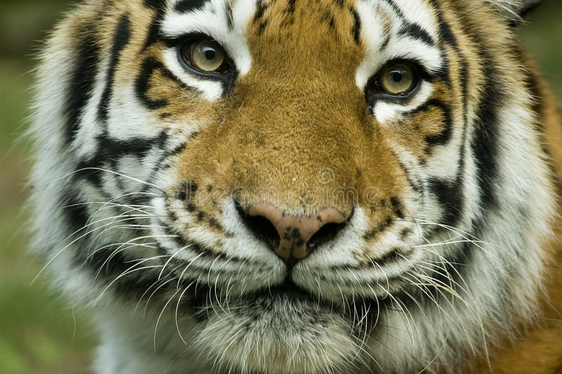 Download Tiger stock photo. Image of love, beauty, power, tiger - 226748