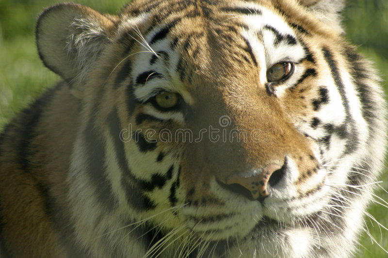 Download Tiger Royalty Free Stock Photography - Image: 2303967