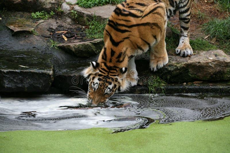 Download Tiger Stock Image - Image: 2304321