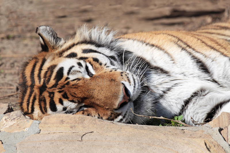 Download Tiger Royalty Free Stock Images - Image: 23159219