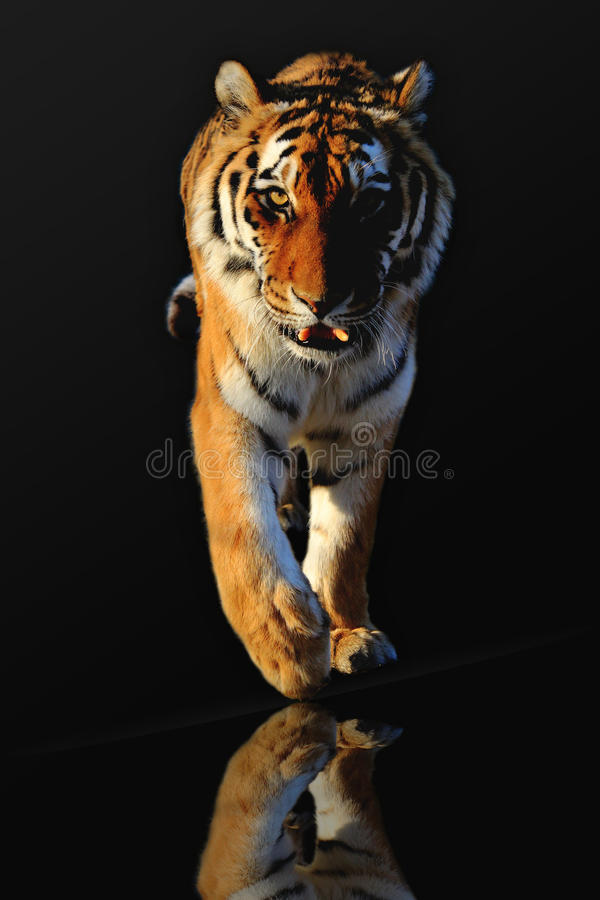 Free Tiger Royalty Free Stock Photos - 26309748