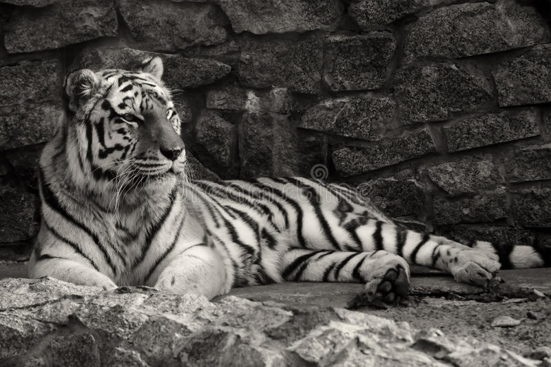 Download Tiger stock image. Image of up, front, face, predator - 27069541
