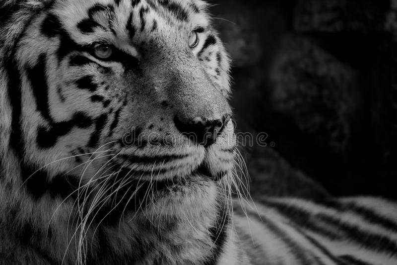 Download Tiger Royalty Free Stock Photography - Image: 27267927