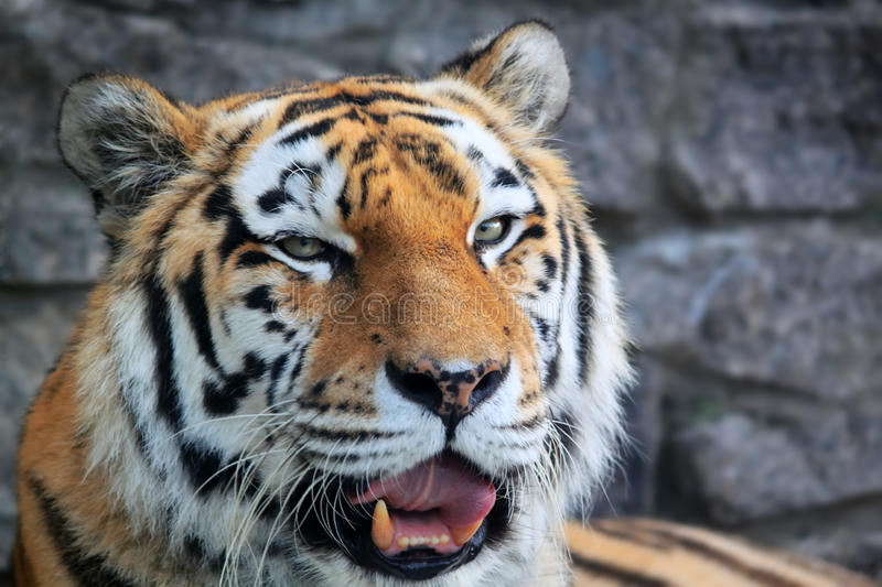 Download Tiger stock image. Image of portrait, asia, close, striped - 27268195