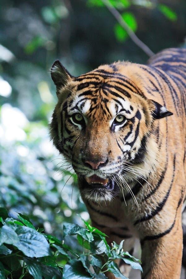 Download Tiger fotografering för bildbyråer. Bild av natur, modell - 289469