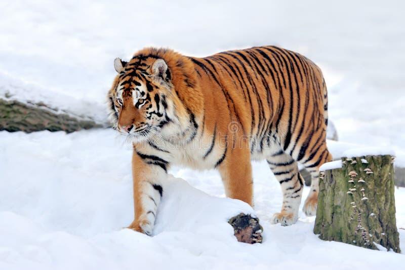 Download Tiger stock photo. Image of head, predator, habitat, royal - 28993006