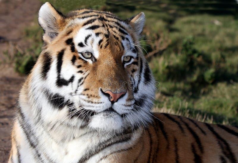 Download Tiger stock image. Image of close, face, staring, royal - 29581179
