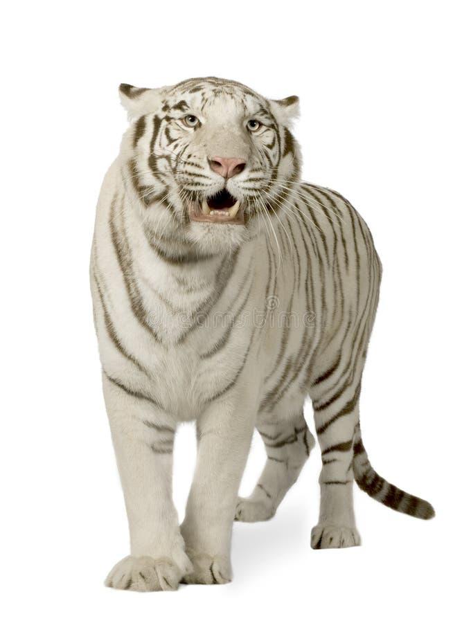 tiger 3 białego lata zdjęcia stock