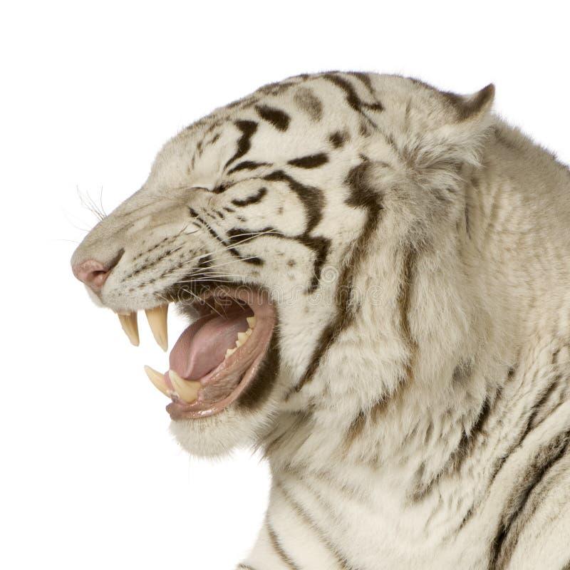 Download Tiger 3 białego lata obraz stock. Obraz złożonej z pasiasty - 4242171