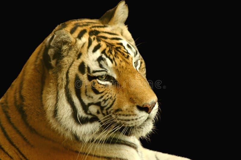 Download Tiger stock photo. Image of safari, mammal, beast, captivity - 3078734