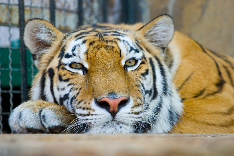 Download Tiger Royalty Free Stock Images - Image: 3148179