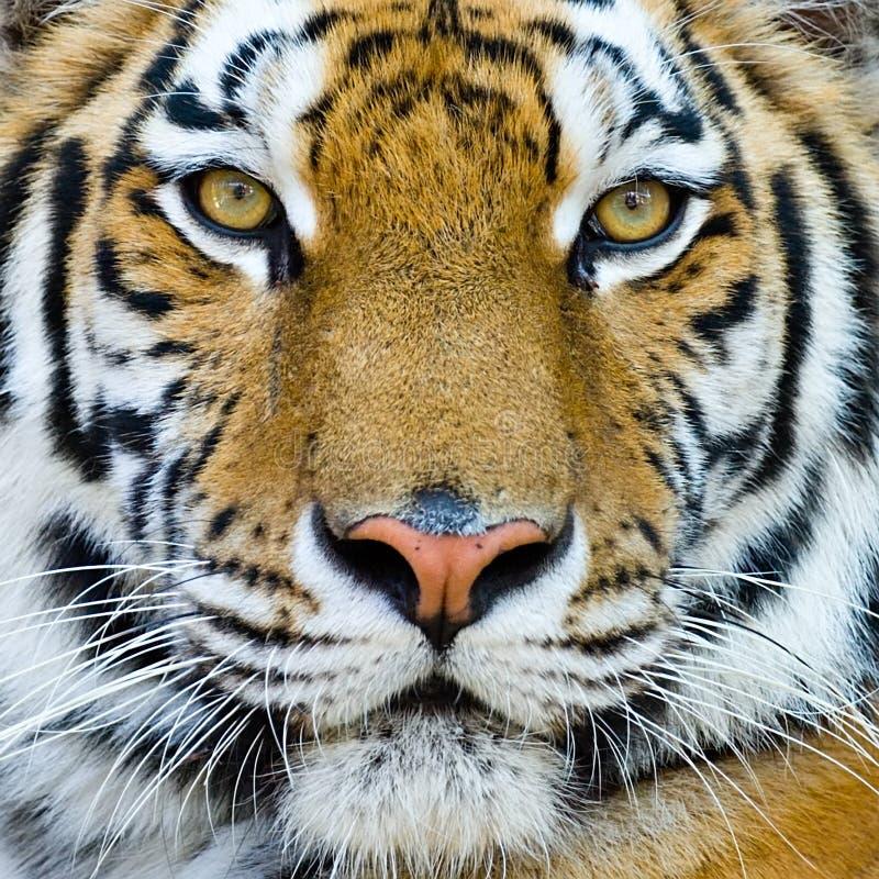 Download Tiger stock photo. Image of closeup, wild, eyes, stripes - 3249036