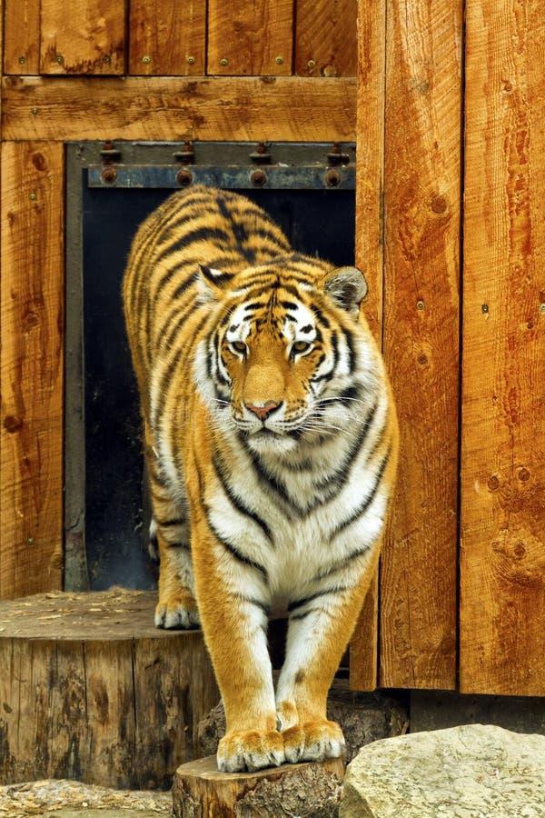 Free Tiger Stock Image - 40061551