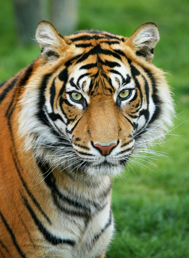 Download Tiger Stock Photography - Image: 4029652