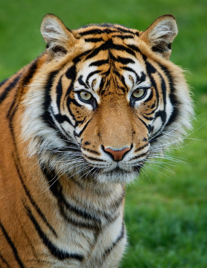 Download Tiger stock image. Image of cats, fierce, claw, portrait - 4385379