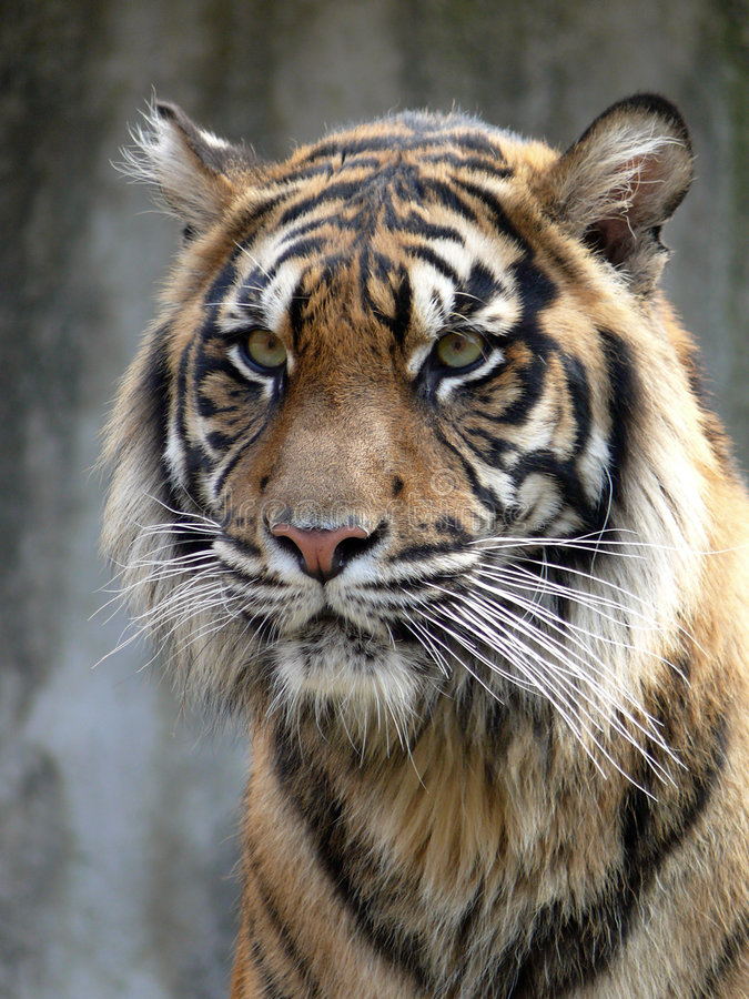 Download Tiger stock image. Image of hair, czech, look, stare, nose - 4676877