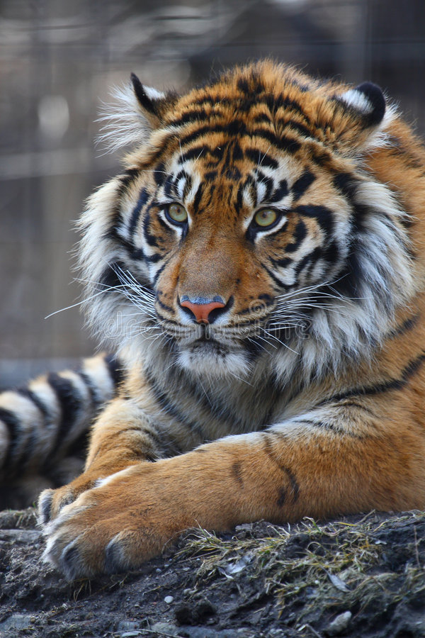 Tiger. This tiger is sitting on the hay and staring at somewhere stock photography