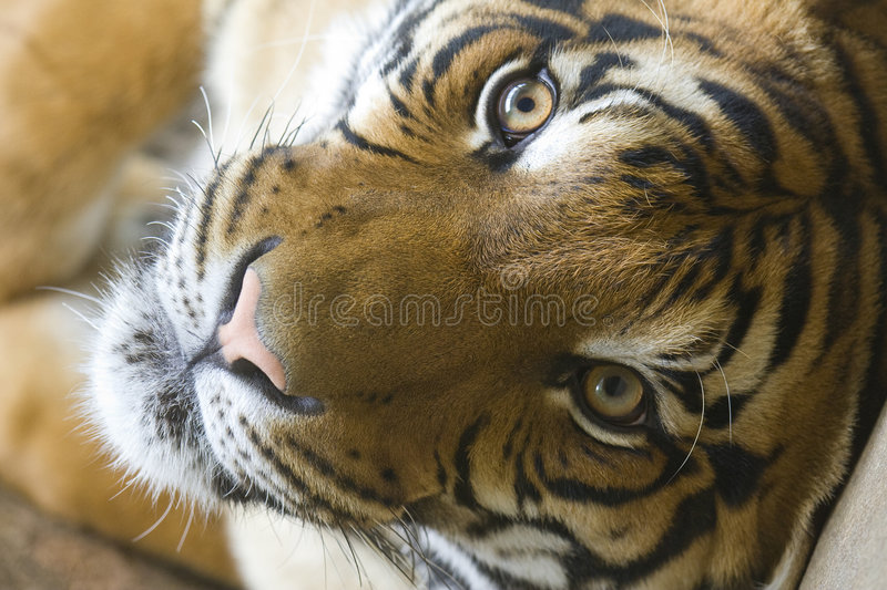 Tiger. Charming tiger relaxing on back royalty free stock photography