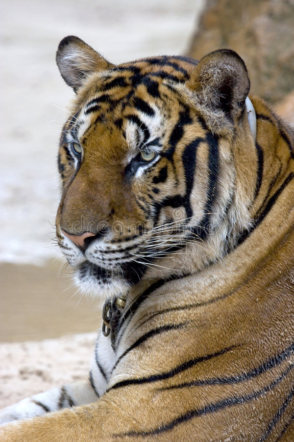 Free Tiger Stock Photography - 5249682