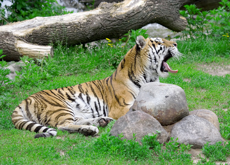 Tiger. Russian nature, wilderness world royalty free stock image