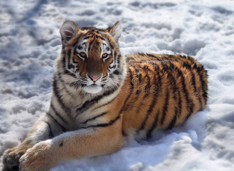 Download Tiger Stock Photo - Image: 5920650