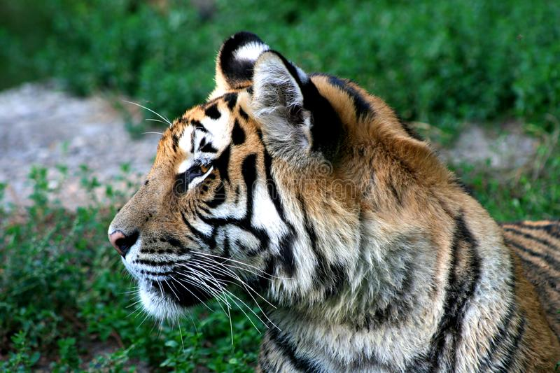 Download Tiger stock image. Image of head, tigers, stare, marauder - 6096061