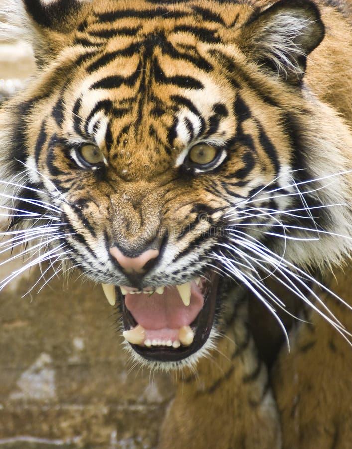 Download Tiger stock photo. Image of head, india, asian, sumatran - 6465370