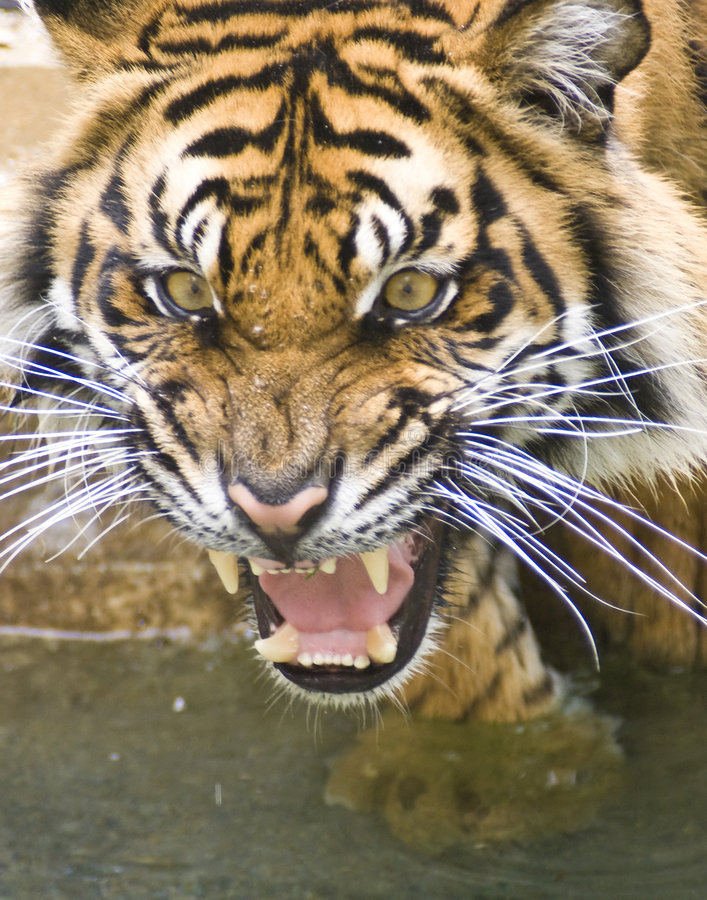 Download Tiger stock image. Image of agitated, tiger, animal, sumatra - 6465377