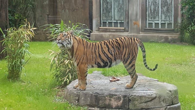 Tiger royaltyfri bild