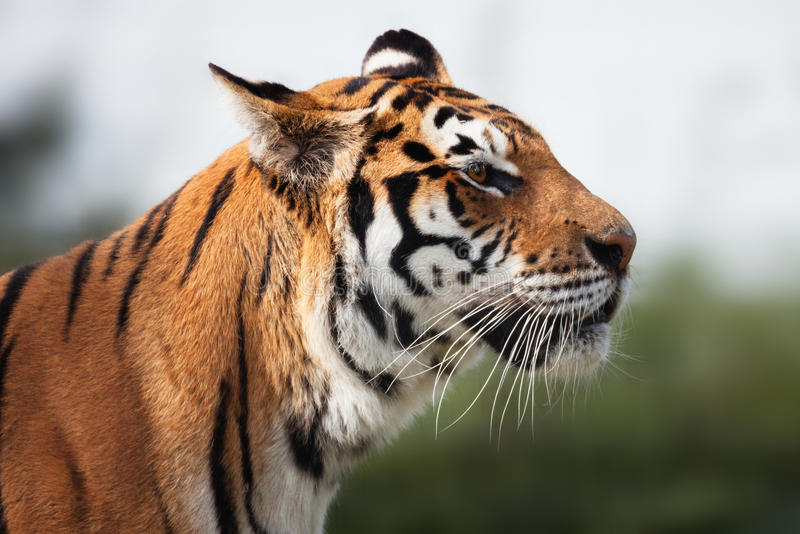 Tiger fotografering för bildbyråer