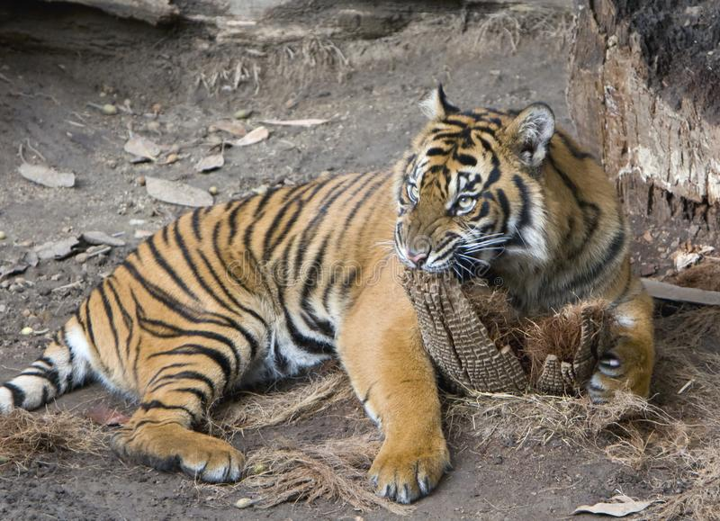Download Tiger stock photo. Image of snarl, white, chew, stripes - 8165936